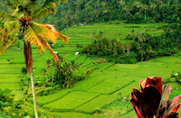 Balinese Rice Terraces #1